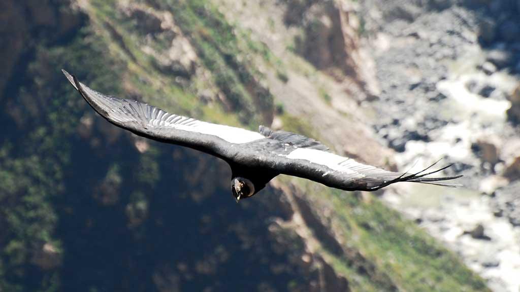 Flight of Condor